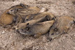 Resting piglets stock photo