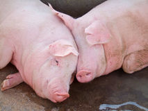 Resting pigs Stock Photography