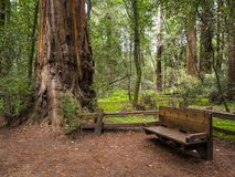 Resting place within redwood forest. In California, with a big sequoia on the side of the bench royalty free stock photo
