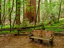 Resting place within redwood forest, California. Resting place within redwood forest in Henry Cowell State Park, California royalty free stock images