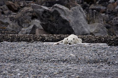 Resting polar bear. On a beach at Svalbard, Arctic Circle stock photo
