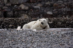 Resting polar bear. On a beach at Svalbard, Arctic Circle royalty free stock photos