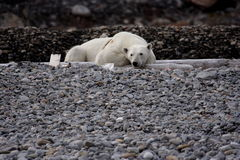 Resting polar bear. On a beach at Svalbard, Arctic Circle royalty free stock photography