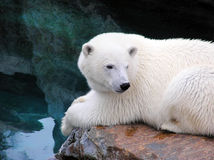 Resting polar bear Royalty Free Stock Images