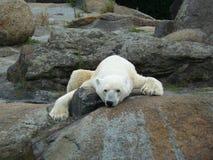 Resting polar bear royalty free stock image