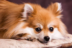 Resting Pomeranian Royalty Free Stock Photos