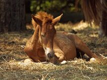 Resting pony Stock Images
