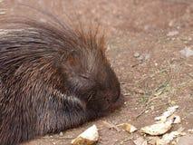 Resting porcupine portrait Stock Images