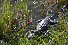 Resting predator. The alligator resting before the hunt Royalty Free Stock Image