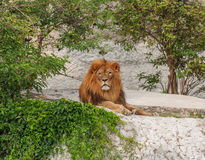 Resting predatory lion. Predatory lion resting in the shade under the trees Royalty Free Stock Images
