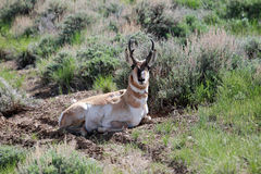 Resting Pronghorn Stock Photos
