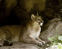 Resting puma Stock Image
