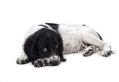 Resting puppy Stock Photography