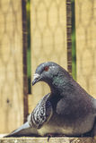 Resting racing pigeon Stock Photography