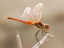 Resting red dragonfly Royalty Free Stock Photography