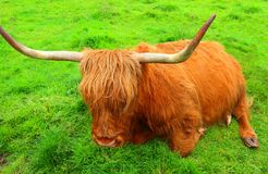 The resting red highland cow,Scotland Stock Images