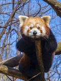 Resting Red Panda royalty free stock images
