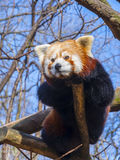 Resting Red Panda royalty free stock photo