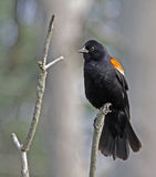Resting Red-winged Blackbird. A male Red-winged Blackbird (Agelaius phoeniceus) perched on a dead branch. Shot in Cambridge, Ontario, Canada Stock Photos