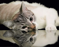 Resting Reflection of Lynx Point Siamese Cat. A resting Lynx Point Siamese cat is reflected in a mirror on a black background Royalty Free Stock Photography