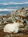 Resting Reindeer Royalty Free Stock Image