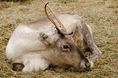 Resting reindeer Royalty Free Stock Photos