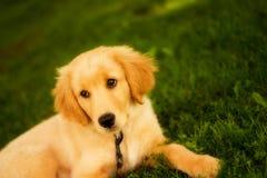 Resting Retriever #4. Portrait of a beautiful golden retriever resting on a grassy lawn stock photo