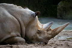Resting rhino. Closeup of a resting rhino's head with two horns in a zoo Stock Photography