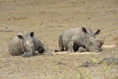 Resting Rhino Stock Photo