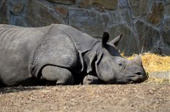 Resting rhino Stock Images