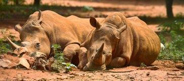 Resting rhinos Stock Image