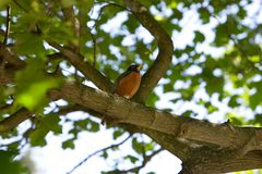 Resting robin. Robin bird in a tree Royalty Free Stock Photos
