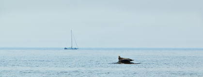 Resting on a rock. Two seals are resting on a rock when a sailboat is passing by Stock Photography