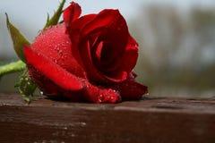 Resting Rose Stock Image