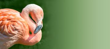 Resting rosy Chilean flamingo in sunset light at smooth green ba stock photos