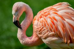Resting rosy Chilean flamingo at sunset portrait, closeup, detai. Resting rosy Chilean flamingo at sunset portrait stock image