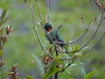 Resting ruby throat hummingbird stock photography