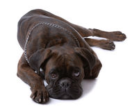 Resting sad boxer dog Stock Photography