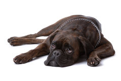 Resting sad boxer dog Royalty Free Stock Image