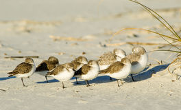 Resting Sandpipers Royalty Free Stock Images