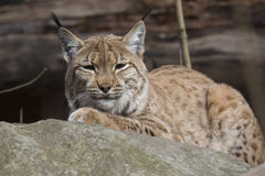Resting Scandinavian lynx, Lynx l.lynx during the autumn sunshine Stock Images
