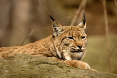 Resting Scandinavian lynx, Lynx l.lynx during the autumn sunshine Stock Photo