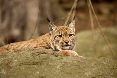 Resting Scandinavian lynx, Lynx l.lynx during the autumn sunshine Stock Image