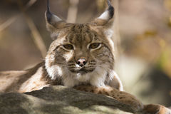 Resting Scandinavian lynx, Lynx l.lynx during the autumn sunshine Royalty Free Stock Image