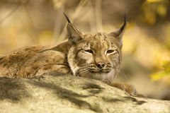 Resting Scandinavian lynx, Lynx l.lynx during the autumn sunshine Royalty Free Stock Photo