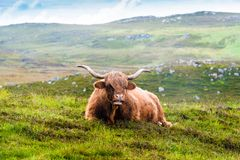 Resting Scottish Highland cow Stock Image
