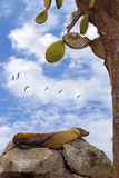 Resting sea lion. On Santa Fe, Galapagos Stock Image