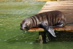 Resting Sea Lion Pup Royalty Free Stock Images