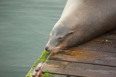 Resting sea lion. A sea lion rests on a pier in Newport, Oregon Stock Images