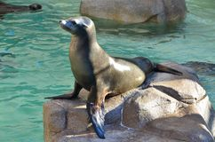 A resting sea lion. A sea lion resting on the rock Stock Image